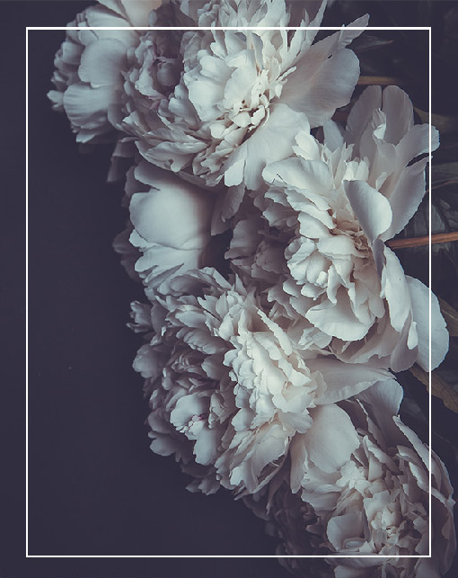 Photo of white peony flowers on dark background.